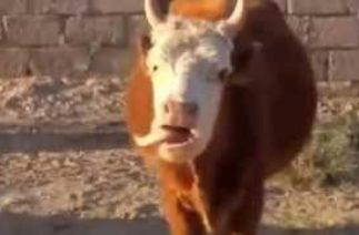 Komik inek