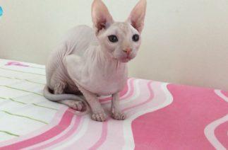Sfenks Kedisi Vs Telefon Şarj Kablosu – Komik Tüysüz Kedi Smeagol