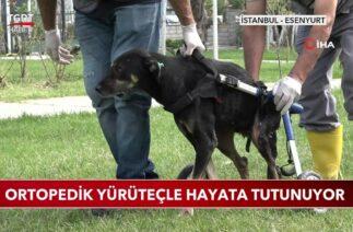 Trafik Kazası Geçiren Köpek Yürüteçle Hayata Tutunuyor