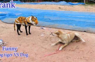 Fake tiger dog prank to dog very Funny
